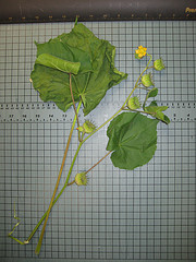 velvetleaf