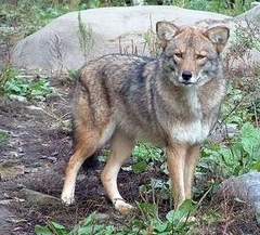 Coywolf