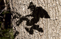 Shadow of a witch on a tree
